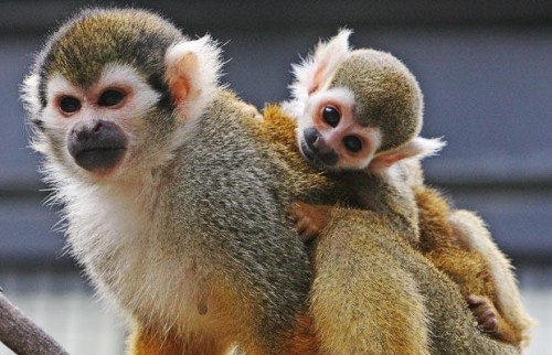 Squirrel-Monkey_1458581i.jpg